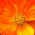 Orange Beauty by KatarinaD