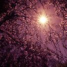 New Day - Sun Through Cherry Blossoms by Vivienne Gucwa