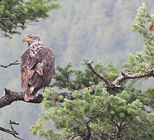 Young Eagle by KansasA