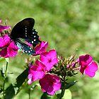 Spicebush Swallowtail, Female #2 by Paula Tohline  Calhoun