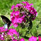 Spicebush Swallowtail, Female #5 by Paula Tohline  Calhoun