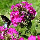 Spicebush Swallowtail, Female #5 by Paula Tohline  Calhoun