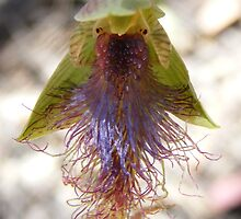 Bearded Man. Slender Beard Orchid - Calochilus gracillimus by Lydia Heap