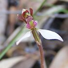 Little bush people. Parson&#x27;s Bands - Eriochilus cucullatus by Lydia Heap