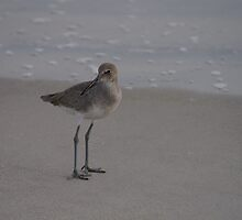 Willet by Kirstyshots