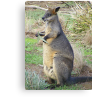 Eucalyptus anyone? Red-necked (Bennets) Wallaby - Macropus rufogriseus Canvas Print
