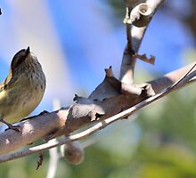 Striated Thornbill by DSly