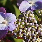tiny hydrangea buds - sooc by Linda  Makiej