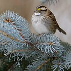 White-throated Sparrow 2 by Michaela Sagatova