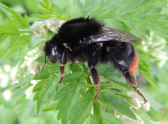 Red Tailed Bumble Bee 01 by Magic-Moments