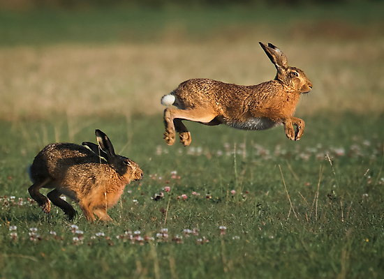 Hare Chase by Patricia Jacobs CPAGB LRPS BPE3