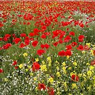 Poppies, poppies and more poppies by John Evans