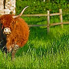 highland cow in the fens by gwebb