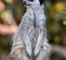 Meerkat 4 (series) by Darren Bailey LRPS