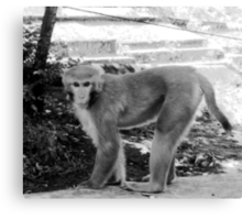 MONKEY IN NEPAL-HOW IS THIS FOR A MODELING JOB? Canvas Print