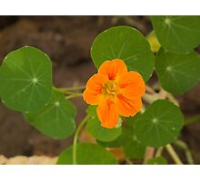 A beautiful orange trumpet shaped flower with green leaves Photographic Print