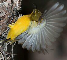 Female sunbird by Jason Clow