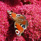 Peacock Butterfly on Sedum by Ross Sharp
