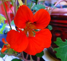 My Very First Nasturtium by Fara
