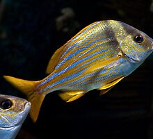 Blue Striped Fish by David Lamb