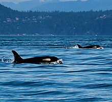 2 Killer Whales by apt10photos