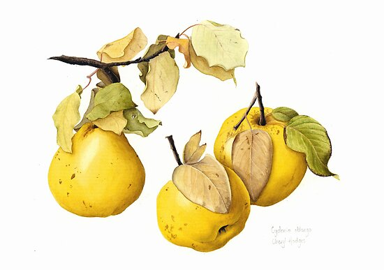 Quinces by Cheryl Hodges