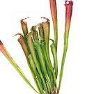 Pitcher Plant - Sarracenia sp. by Cheryl Hodges