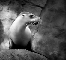 Seal by Chris Lang