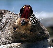Seal Teeth by John Dalkin