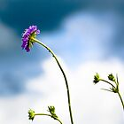 Scabious in the meadow by Sarah Walters