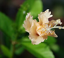 Unfurling hibiscus by BecDphotography