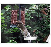 Squirrel raiding bird nut feeder Poster