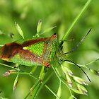 Hawthorn Shield Bug 04 by Magic-Moments