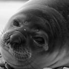 Elephant Seal Pup by rosepetal2012