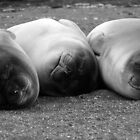 Elephant Seal Pups by rosepetal2012