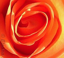 Rose on Fire by Eleana Needham
