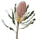 Banksia menziesii - Firewood Banksia by Cheryl Hodges