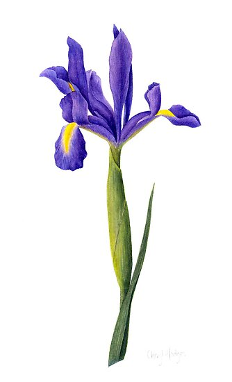 Dutch Iris by Cheryl Hodges