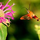 Hummingbird Moth by Larry Trupp