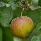 Orange Pippin Apple In Tree by Moonlake