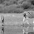 Zebras by Lynn Bolt