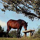 South Devon Kingswear Dartmoor Pony Looking At Bench by richard wolfe