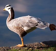 Bar-headed Goose by rosepetal2012