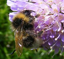 Bumble bee by DAVE SNEYD