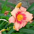 Daylily by Carolyn Clark