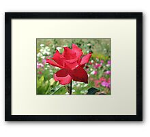 A beautiful red rose with the petals fully expanded Framed Print