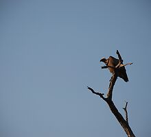 White-backed Vulture in the tree by gogston
