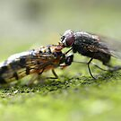 Fly feeding on dead scorpionfly by Nicole W.