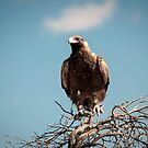 Wedge-tailed Eagle (Aquila audax) by Rosie Appleton