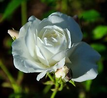 Single White Rose by Susie Peek